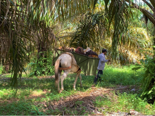 Colombian farmer and horse